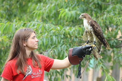 """Pennsylvania licensed wildlife rehabilitator Amber Treese works with """"Ash"""" a juevenile Red-Tailed Hawk at Wildbird Recovery. Ash was found with a permenantly injured right wing and would be unable to survive in the wild.  Seb Foltz/Butler Eagle 07/28/21"""