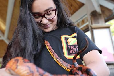 Izzy Salvia, 11, handles a corn snake at Thursday's reptiles and amphibians presentation at Alemeda Park. Seb Foltz/Butler Eagle