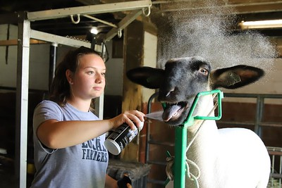 Brooklyn Peters, 18, of Connoquenessing applies a spray conditioner, while grooming her sheep Lady Tuesday. Seb Foltz/Butler Eagle 07/07/20