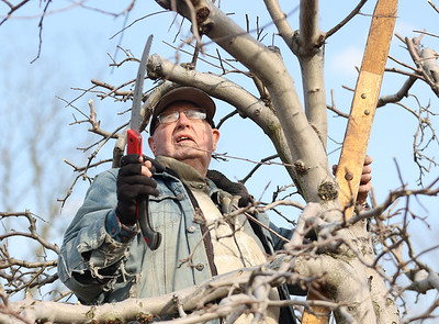 Bob Orsborn, 80, prunes apple trees  with his wife Carol, 79(not pictured) Tuesday. The two run Shannon's Orchard -- started by Carol's father in 1950-- on Evan's City Road. The couple said recent cold weather had them behind schedule on their over 50 trees. Seb Foltz/Butler Eagle 03/09/21