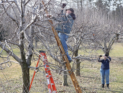 Bob, 80, and Carol Orsborn, 79, prune apple trees  in their orchard Tuesday. The two run Shannon's Orchard -- started by Carol's father in 1950-- on Evan's City Road. The couple said recent cold weather had them behind schedule on their over 50 trees. Seb Foltz/Butler Eagle 03/09/21