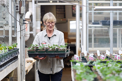 Lynne Kovach carries out a tray of freshly potted vining geraniums to continue growing in Schnur's Greenhouse in Summit Township Thursday. Staff was on hand preparing the greenhouse for spring. Owner Jim Schnur said that Covid-19 lead to a significantly increased interest in gardening last year. A trend he hopes will continue this spring. Seb Foltz/Butler Eagle