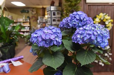 Hydrangeas are a popular flower for Easter. Harold Aughton/Butler Eagle