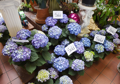 Hydrangea arrangements are a popular flower for Easter. Harold Aughton/Butler Eagle