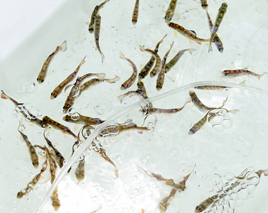 Butler Intermediate teacher Dave McCool raised trout in the classroom this year. Harold Aughton/Butler Eagle