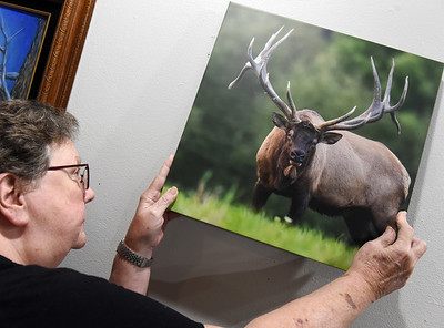 Shirley McCauley, board member of the Butler Arts Center, hangs a picture of a bull elk taken by Dan Gomola of Renfrew in preparation of the center's art exhibit scheduled for October 2. Harold Aughton/Butler Eagle
