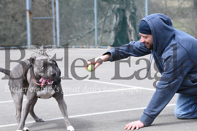 Harold Aughton/Butler Eagle: Two-year-old, American Blue Nose Pitt Bull, Jemma, plays a game of keep away with her owner, Corey McFadden of Butler, Friday afternoon at the Butler Memorial Park.