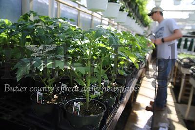 Tomato plants in Schnur's Greenhouse in Butler. Greg Schnur pictured. Seb Foltz/Butler Eagle 04/02/20