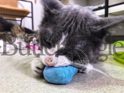 Guacamole, a domestic shorthair mix, plays with a homemade cat toy. A child's sock filled with catnip is a quick treat to make a pet for Valentine's Day, said Debbie Aglio, assistant executive director of the Butler County Humane Society..