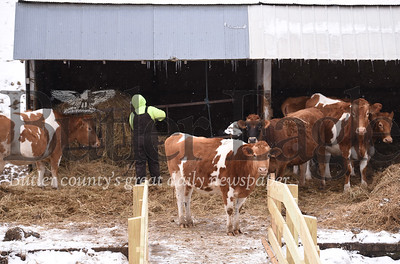 94812 Cold cows at Moser Dairy Farm in Chicora