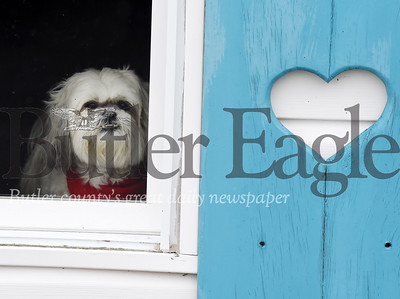 Harold Aughton/Butler Eagle: Sweetheart, a 9-year-old Shih Tzu, stands guard ready to announce the arrival of any intruders or guests for his owners Joann and Delton Neal of Prospect.