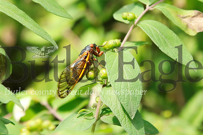 A Cicada rests on a branch near Chicora. Seb Foltz/Butler Eagle