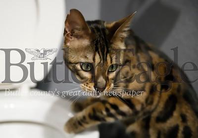 Cat Pee story. Seb Foltz/Butler Eagle