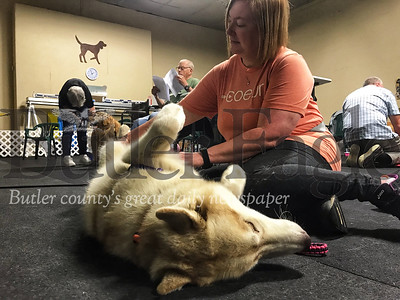 Jax, a 2-year-old Siberian Husky, rolls over and stretches his legs as West Sunbury resident Carey Wallace applies pressure to an acupressure point.