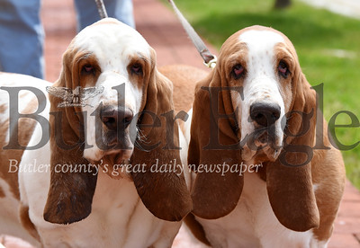 basset hounds hercules and queen