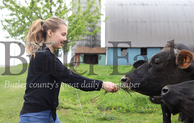 The Bergbigler's granddaughter Mercedes Guynup feeds cows some fresh grass at Bergbigler Farms. Seb Foltz/Butler Eagle