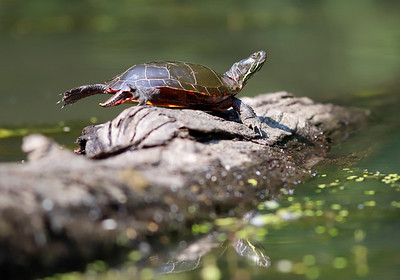 A turtle sits in on a log in an inlet near McDanels Boat Launch at Moraine State Park Wednesday. Seb Foltz/Butler Eagle 09/09/20