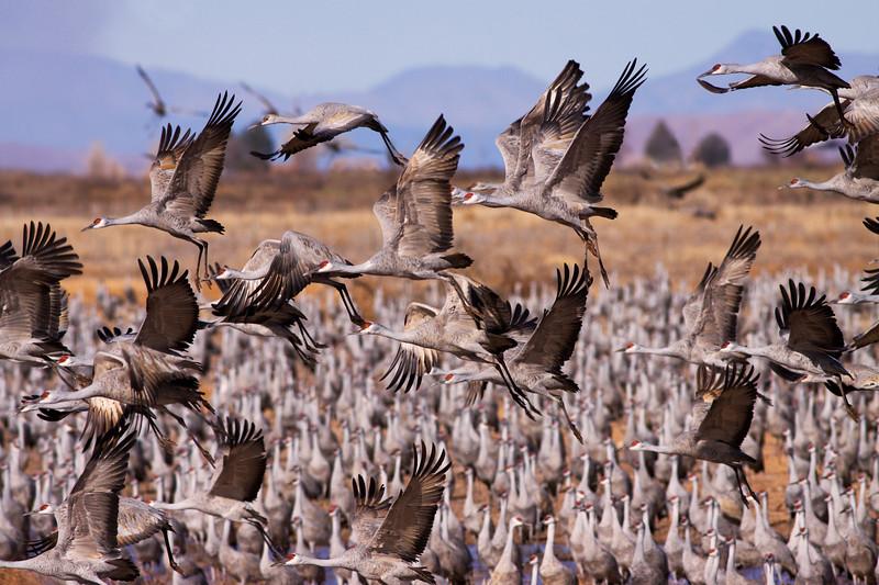 28 Jan: Sandhilll cranes...