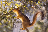 11 Jan: Fox Squirrel
