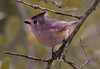 10 Jan: Titmouse