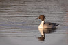 9 Feb: Northern Pintail...