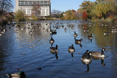 Nov 2, 2004 The geese have taken over the University