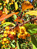 """More Prairie Cherries"" - Daily Photo - 10/16/12<br /> <br /> Herrick Lake, Wheaton, Illinois"