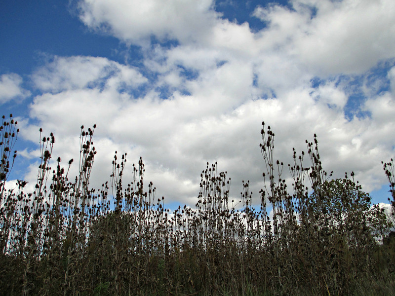 """""""Reach for the Sky"""" - Daily Photo - 11/14/12<br /> <br /> Lake Patterson, Aurora, Illinois<br /> <br /> Not sure what these plants are, but there was a huge field of them and they were like thistle.  I liked them, but not sure the picture does them justice."""