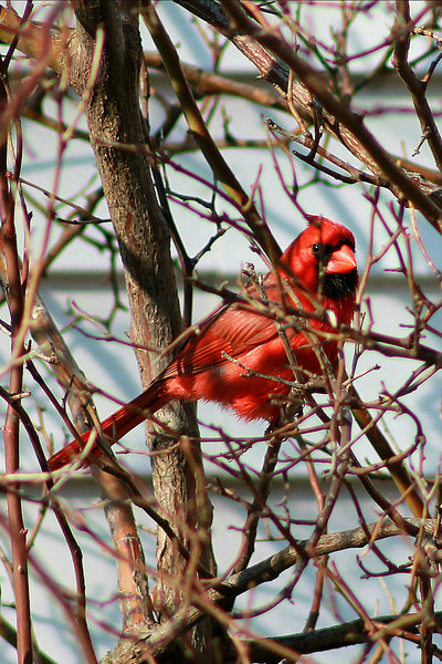 """""""Cardinal in a Rose Bush"""" - Daily Photo - 05/06/13<br /> <br /> Saw him and the female flying in and out of my climbing rose and was hoping they would nest there, but they chose elsewhere."""