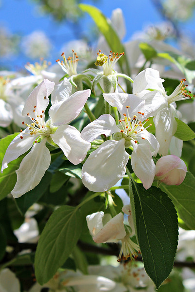 """""""Apple Blossom Bouquet"""" - Daily Photo - 06/07/13<br /> <br /> I think my Golden Retriever is as excited as we are about the apples to come.  Unfortunately the blooms fade quickly.  These flowers and my lilacs just fill the yard with fragrance for a couple weeks and then they are gone."""