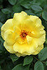 """Yellow Rose of 'A'urora"" - Daily Photo - 07/14/13<br /> <br /> Blessed Sunday!"