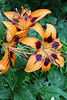 """Rain on Asiatic Lilies"" - Daily Photo - 08/23/13<br /> <br /> Happy Friday! Now off to the dentist ..."