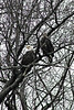 """Bald Eagles on the Fox - Part II"" - Daily Photo - 02/01/13<br /> <br /> Taken Sunday with the weather snowy, rainy and cold.  Like the way the branches frame the birds.  This is a different pair, though same tree.  I saw at least a dozen eagles that day, quite an experience.  these birds are only a few minutes drive away from my home in Aurora, Illinois."