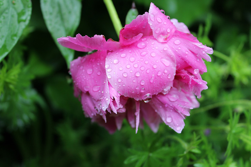 """Weeping Peony"" - Daily Photo - 06/25/13"