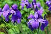 """More Purple Rain"" - Daily Photo - 07/01/13"