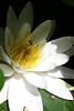 """The Water Lily and the Fly"" - Daily Photo - 08/21/13"