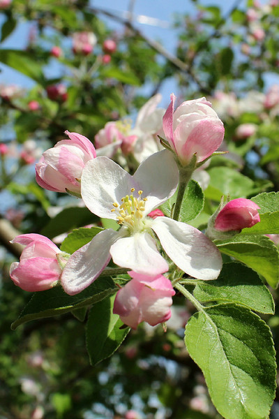 """""""Apple Blossoms"""" - Daily Photo - 06/02/13<br /> <br /> One my Golden Delicious apple trees blooming in my backyard.<br /> <br /> Blessed Sabbath!"""