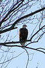 """Standing Vigil - Bald Eagle on the Fox River, Montgomery, Illinois"" - Daily Photo - 02/11/13<br /> <br /> Thanks for all of your comments on Pennsylvania and my winter shots."