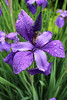 """Iris in the rain"" - Daily Photo - 06/30/13<br /> <br /> Happy Sunday!"
