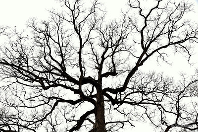 "2/8/2011  We came upon this enormous old tree (which I think is an oak) on Saturday.  It was striking due to it's size, age and the way it seemed to reach into the white sky forever.  Contrast boosted slightly.  ""Character is like a tree and reputation like a shadow. The shadow is what we think of it; the tree is the real thing.""  Abraham Lincoln"
