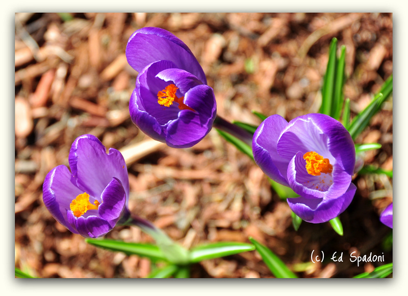 "3/23/2011<br /> <br /> Is it crocus or crocii?<br /> <br /> Thanks for all the kind words on yesterday's ""At last...Spring"" shot.  We're expecting snow today!  LOL."