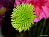 Not found in nature...?<br /> POTD 9/15/2100<br /> <br /> From a bouquet at my daughter's home.  This particular flower caught my eye because of it's color, but I don't think neon green is one of nature's own.  Is it?<br /> <br /> Panasonic ZS8