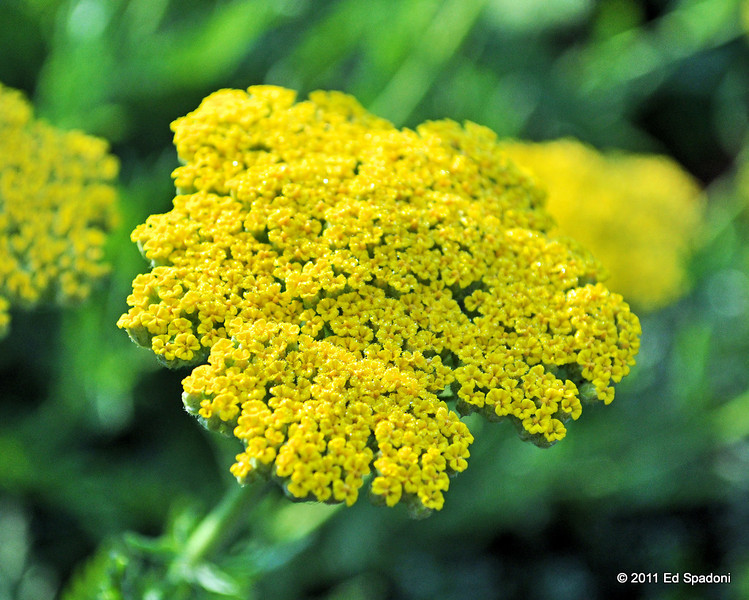 Golden Yarrow<br /> POTD 6/14/2011