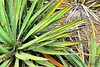"Cropped close up of an Arizona palm plant.<br /> POTD 5/12/2011<br /> For more on close ups please see today's blog post: <a href=""http://wp.me/pasxa-no"">http://wp.me/pasxa-no</a>  Thanks!"