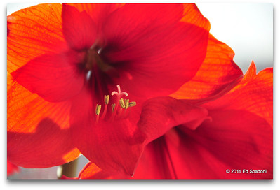 "Amaryllis POTD 4/12/2011  ""Red is the ultimate cure for sadness.""  Bill Blass"