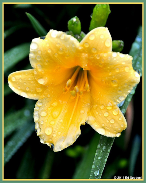 Day Lily with dew<br /> <br /> POTD 6/17/2011