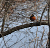 The American Robin has an extensive range, estimated at 16 million square kilometers (6 million square miles), and a large population of about 320 million individuals. (Wikipedia)<br /> <br /> POTD 4/19/2011
