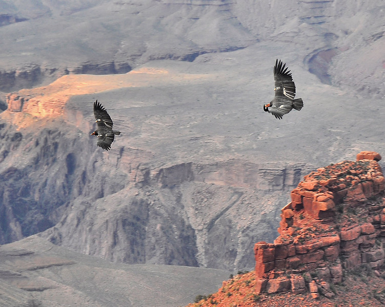 "Condors in the Canyon<br /> <br /> There are only 77 Condors in all of AZ and UT.  These two magnificent creatures had been resting for a time on stone outcroppings in the Grand Canyon, (here's a shot: <a href=""http://www.edspadoni.com/Photography/The-Great-American-Southwest/15384211_vL5AB#1029527750_Mmd5G-A-LB"">http://www.edspadoni.com/Photography/The-Great-American-Southwest/15384211_vL5AB#1029527750_Mmd5G-A-LB</a>), before they decided to take wing.  I shot this in shutter priority mode at 1/400 sec, f5.3 and panned.  Cropped and sharpened slightly in PP."