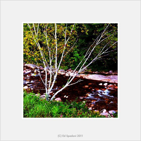 Birch and brook<br /> POTD 9/3/11