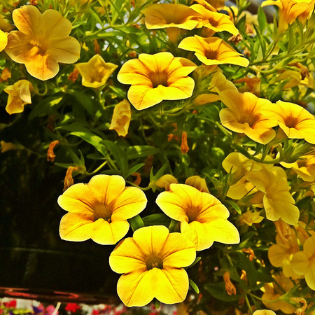 While searching for some hanging plants at the nursery yesterday, we found a pot of gold.  POTD 5/31/2011
